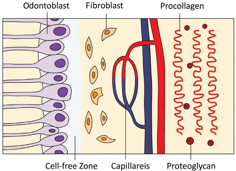 Cellular reduction and pulp fibrosis can be related not only